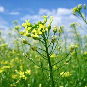 Масло из травы рыжик посевной