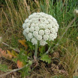 Морковь дикая (семена)